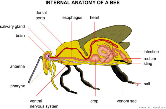 Internal anatomy of a bee